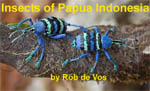 Insects of Papua Indonesia